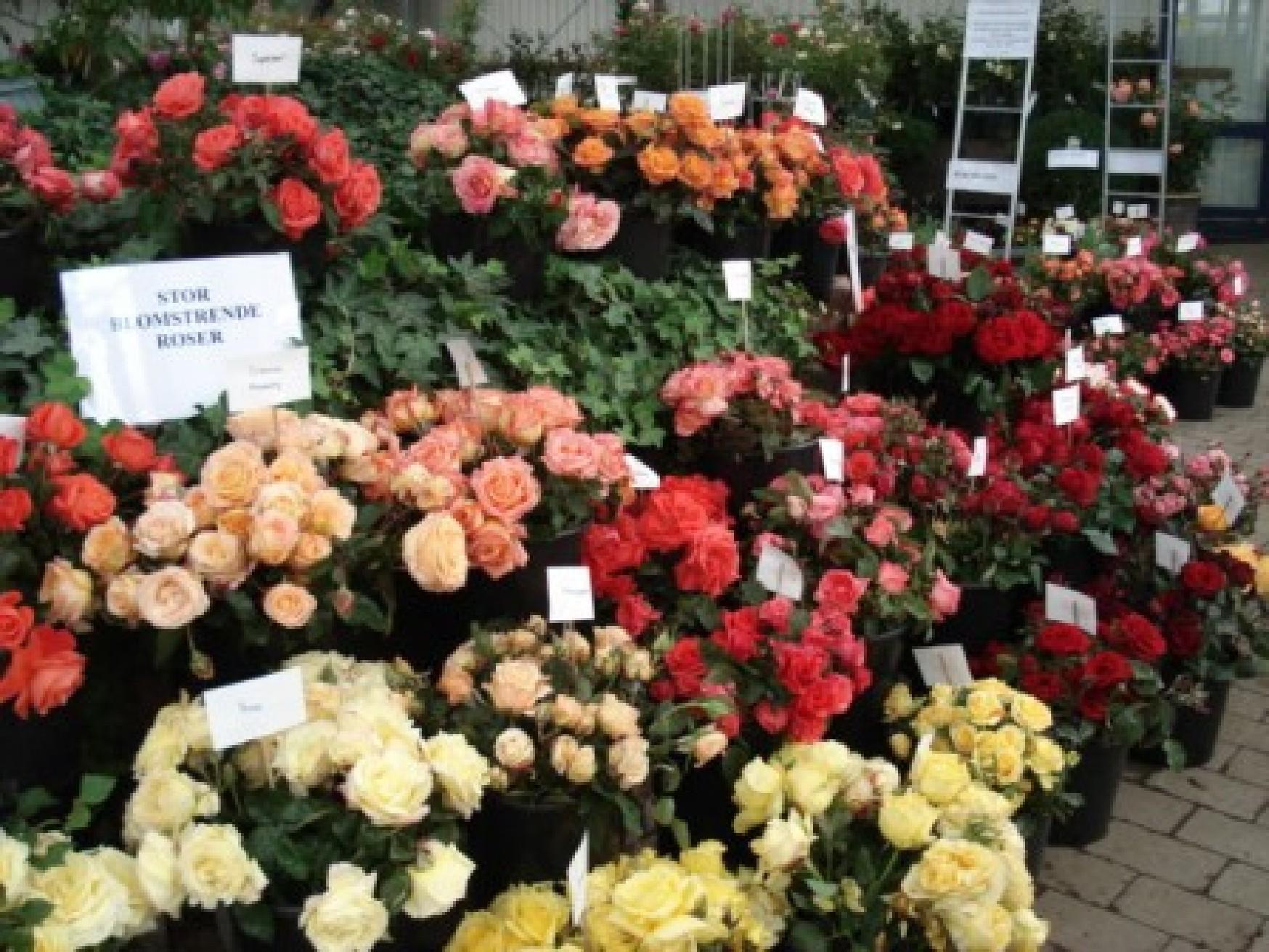 Afskårne Roser rosenudstilling - audebo havecenter